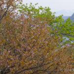 【フォトトレッキング】摩周外輪山で桜を見よう