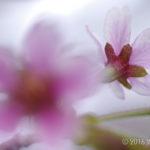 【フォトトレッキング】藻琴山へ桜を見に行こう